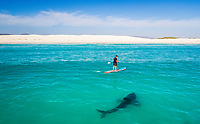 great white shark, Carcharodon carcharias, approaching standup paddleboarder, Gansbaai, South Africa