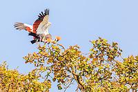 Africa, Uganda , Bunyonyi lake, gru coronata ( Balearica regolorum gibbericeps