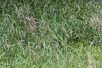 Feldhase, Feld-Hase, Feld - Hase, Lepus europaeus, gut getarnt auf Wiese zwischen Gräsern