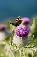 Europe/France/Auvergne/15/Cantal/Parc Naturel Régional des Volcans:Papillon et Chardons d'auvergne dans  la vallée de Mandailles