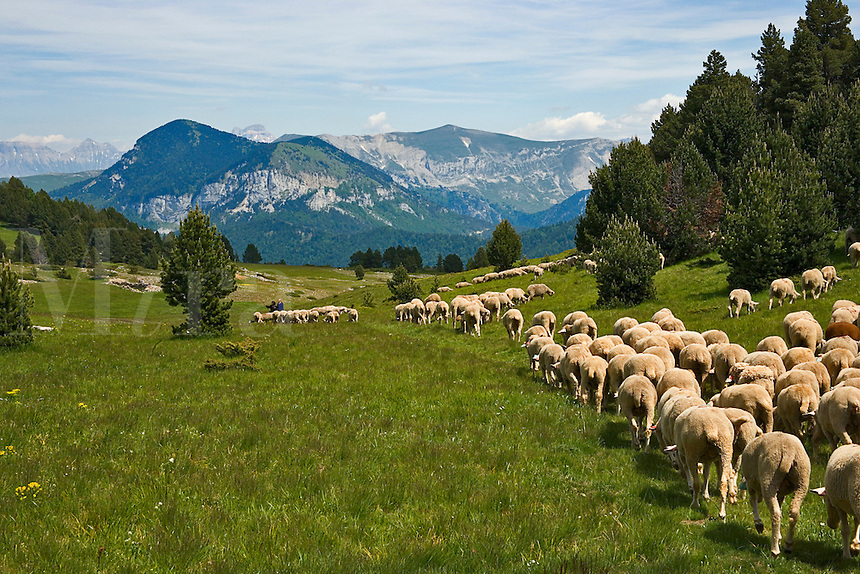 France. Drome, Diois. Tussac. Plateau meadow land used for transhumance. Flock of sheep.  Plateau du Vercors. Looking towards Alps.
