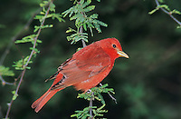 Summer Tanager, Piranga rubra,male, South Padre Island, Texas, USA, May 2005