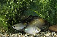 Bitterling, gemeinsam mit einer Teichmuschel, Anodonta, Rhodeus amarus, Rhodeus sericeus amarus, European Bitterling