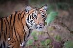 Young Bengal Tiger (Panthera tigris tigris) (14 -15 months old). Tadoba-Andhari Reserve, Marharastra, India.