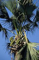 Afrique/Afrique de l'Ouest/Sénégal/Basse-Casamance/Parc de Djibelor : Palmier