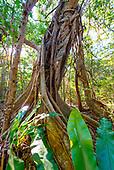 Banian étrangleur forêt de Wapan