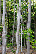 Row of maple trees in forest off Fire Road 511 along the Kancamagus Scenic Byway in the White Mountains, New Hampshire USA.