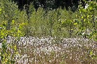 Moor, Sumpf in Nord-Deutschland, Moorlandschaft, Bruchwald, Moorweiher im Frühling, Moortümpel mit Wollgras, Eriophorum spec., Cotton Grass