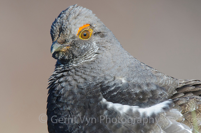 Dusky Grouse (Dendragapus obscurus) head portrait. Okanogan County, Washington. April.