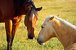 Horses in the meadow, San Luis Obispo on the Central Coast of California