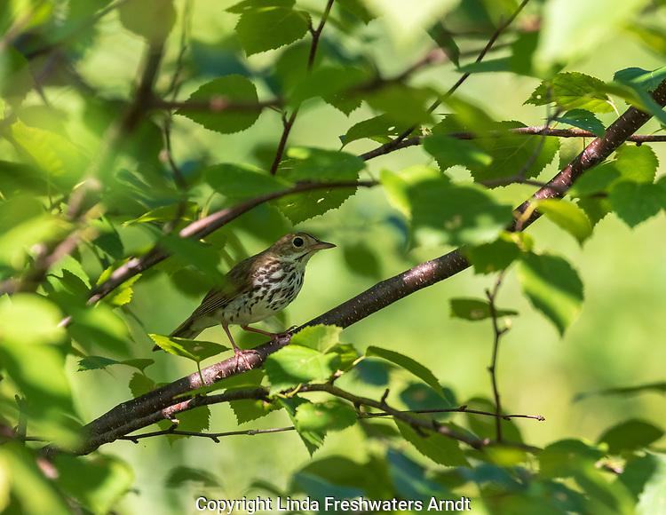 Ovenbird perched in speckled alder in northern Wisconsin.