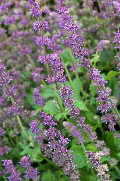 Salvia verticillata 'Purple Rain', early August.