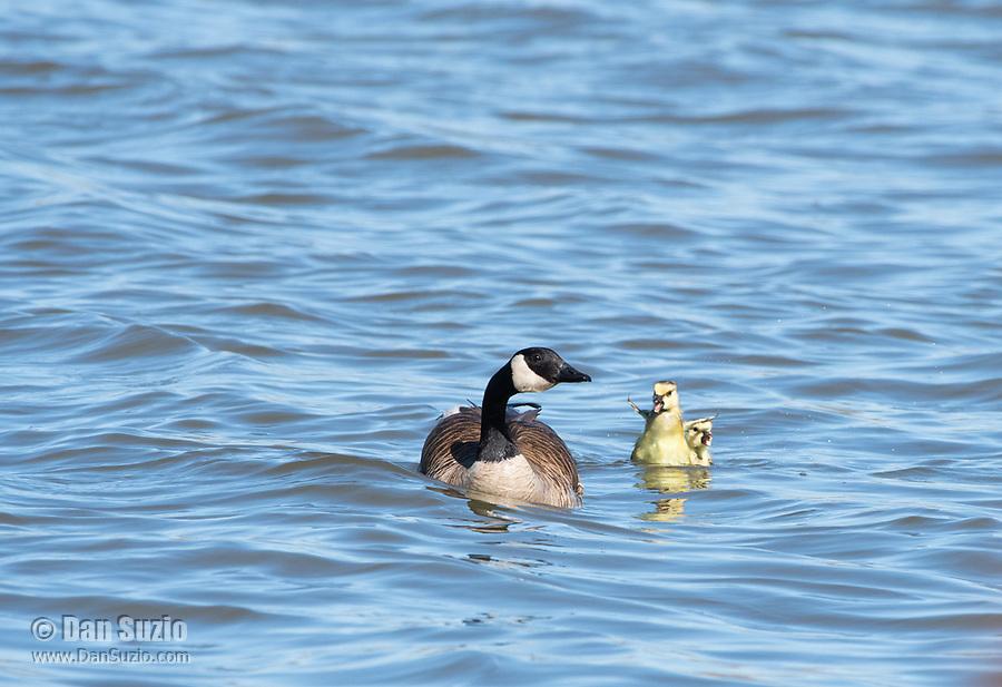 Canada Goose, Branta canadensis, with gosling on Lake Ewauna, Oregon