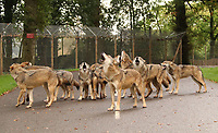 BNPS.co.uk (01202 558833)<br /> Pic: IanTurner/BNPS<br /> <br /> Howl-oween...<br /> <br /> A weekly fire alarm test is prompting a howling frenzy among Longleat's pack of European wolves. <br />