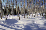 Grove of birch trees in winter