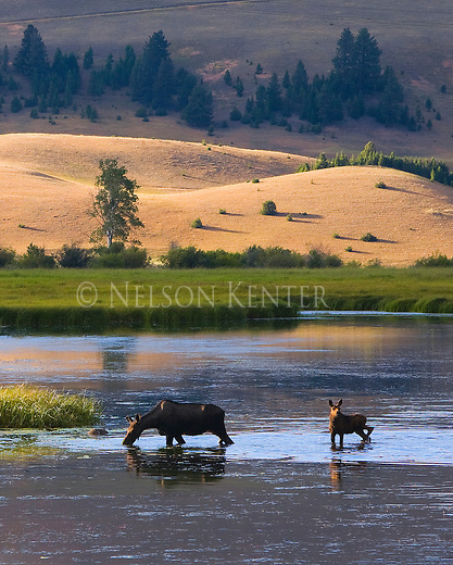 Cow and Calf Moose feed in a pond at sunset in western Montana