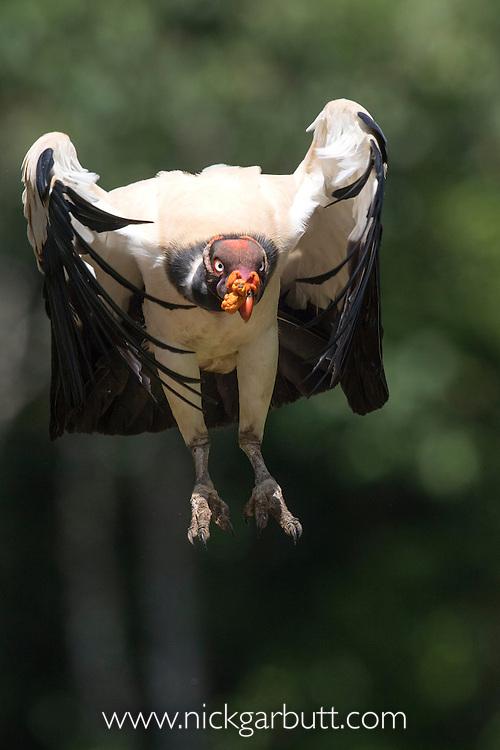 Adult King Vulture (Sarcoramphus papa) in flight. Laguna del Lagarto, Boca Tapada, Caribbean slope, Costa Rica, Central America.