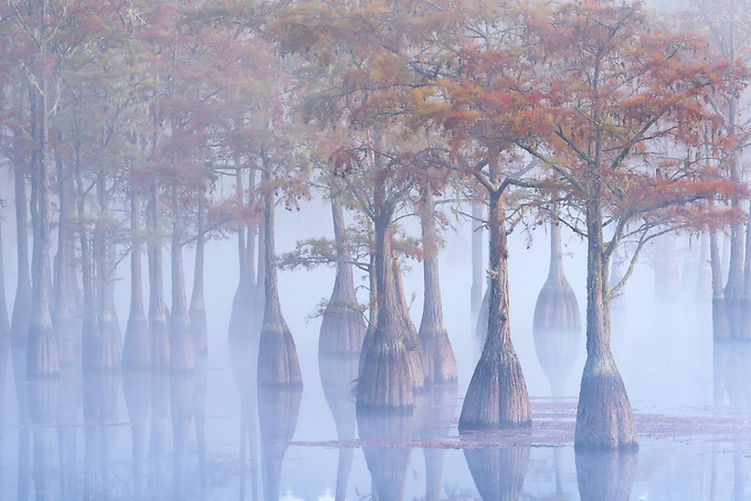 A small grove of pond cypress emerge from the morning fog just after sunrise, dressed in fall color.