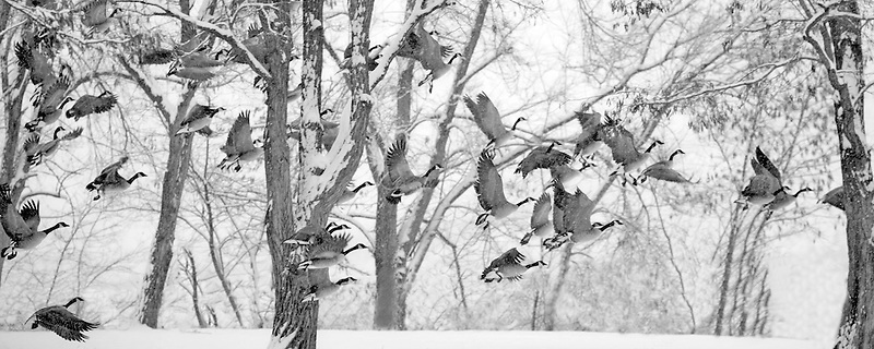 Canadian Geese taking off in snow. Farwell Bend State Park, Oregon
