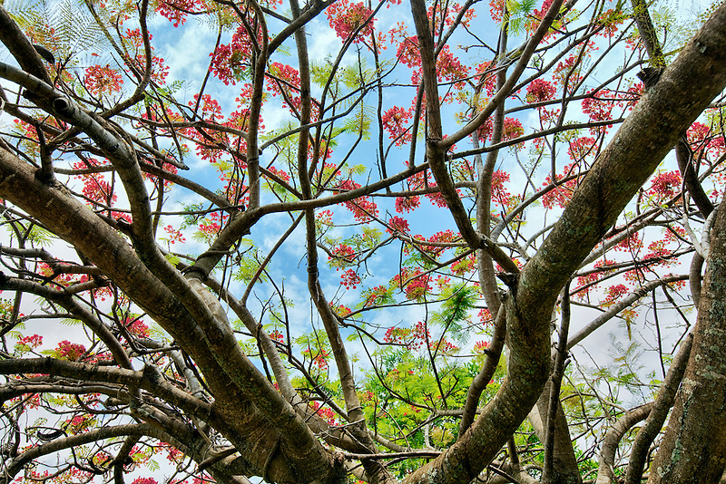 Unidentified tree with red blossoms. Kauai, Hawaii