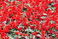 Yangzhou, Jiangsu, China.  Red Salvia (Scarlet Sage) in Slender West Lake Park Garden.
