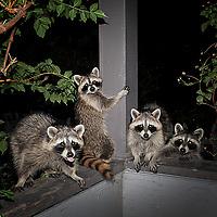 Raccoon Fiesta