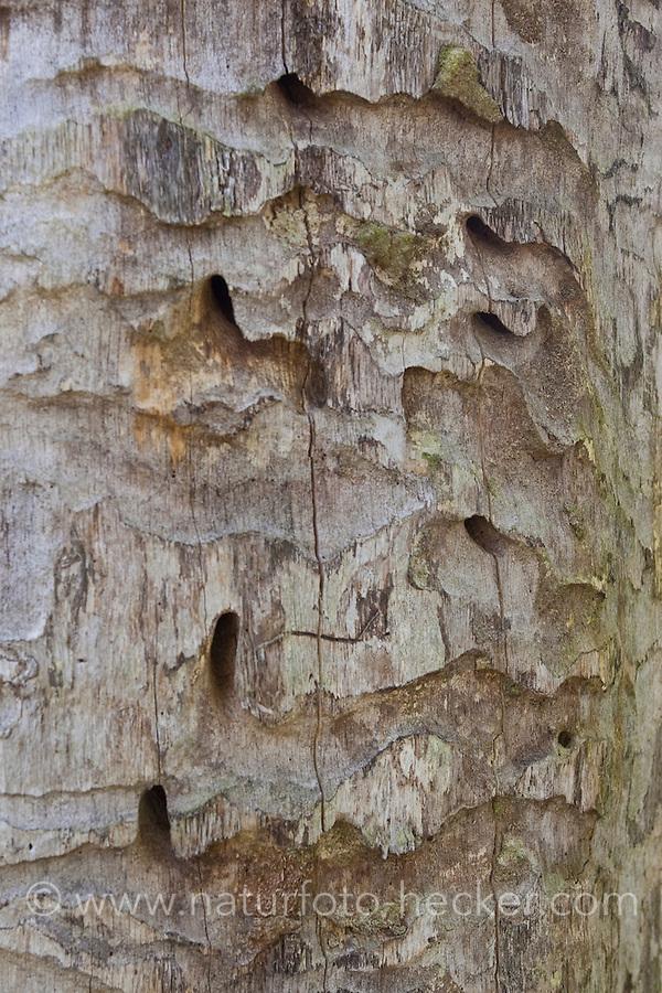 Eichen-Heldbock, Großer Eichenbock, Heldbock, Cerambyx cerdo, Fraßgänge der Larven in einer alten Eiche, great capricorn beetle, oak cerambyx