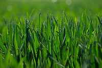 29-5-2021 Winter wheat<br /> ©Tim Scrivener Photographer <br /> 07850 303986<br /> ....Covering Agriculture In The UK....