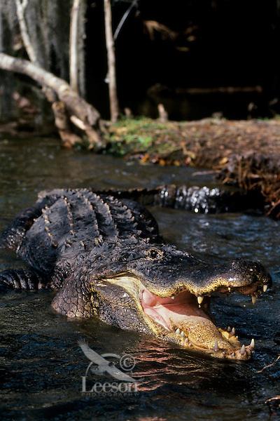 American Alligator (American Alligator, Alligator mississippiensis)
