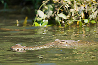 American crocodile, Crocodylus acutus, swimming in the Tarcoles River, Costa Rica
