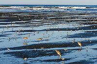 Shorebirds--mostly Marbled Godwits, dunlins and western sandpipers--feed along Pacific Ocean.  Spring migration, Pacific Northwest.  April.