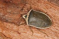 Grüne Reiswanze, Südliche Stinkwanze, Nezara viridula forma torquata, southern green stink bug, green vegetable bug, Southern Green Shieldbug