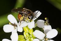 Rote Ehrenpreis-Sandbiene, Weibchen, Andrena labiata, Andrena cingulata, Red-Girdled Mining-Bee, Mining Bee, burrowing bee, Sandbienen, mining bees, burrowing bees, Sandbiene mit Ölkäfer-Larve, Ölkäfer, Triungulinus, Triungulinus-Larve, Blütenbesuch an Knoblauchsrauke, Alliaria petiolata