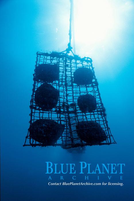 pearl shell cages hold golden pearl shells, Pinctada maxima, at pearl farm, Kimberley, Weset Australia, Indian Ocean
