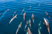 short-beaked common dolphin, Delphinus delphis, pod, bow-riding, Mexio, Gulf of California, Sea of Cortez, Pacific Ocean