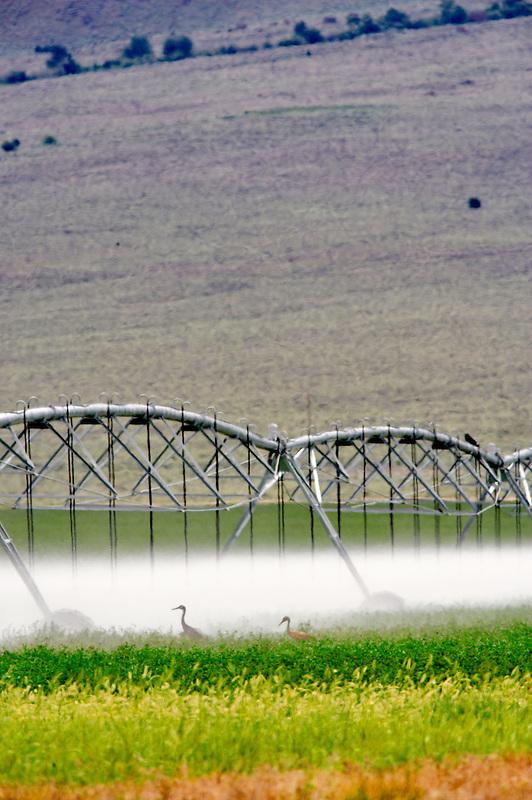 Sand Hill Cranes under irrigation water. Near the Steens Mountain. Oregon