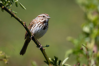 Song Sparrow (Melospiza melodia atlantica) on its breeding territory at the Connetquot River State Park Preserve, Oakdale, New York.