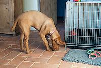Hungarian Wire haired Viszla puppy, 5 months old.  Breeder: www.Falcongreengundogs.eu