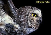 OW07-088z  Saw-whet owl - flying - Aegolius acadicus