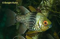 TP16-500z Pajama Cardinal Fish - Polka Dot Cardinal Fish - Sphaeramia nematoptera