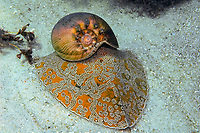 Southern Bailer shell, Melo miltonis, a large snail so called because the aboriginals used the shell to hold or bail water, Bremer Bay, Western Australia, Australia, Southern Ocean