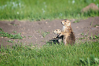 Mother Black-tailed Prairie Dog (Cynomys ludovicianus) stays alert, on the look out for predators, while her pup stays close.  Custer State Park, South Dakota.