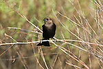 Male brown-headed cowbird (Molothrus ater) perched in the brush