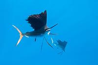 Atlantic Sailfish, Istiophorus albicans, Islamorada, Florida Keys, Florida, USA, Atlantic