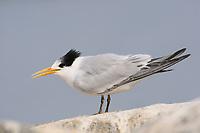 Immature 1st winter Elegant Tern (Sterna elegans) giving begging call. Monterey County, California. November.