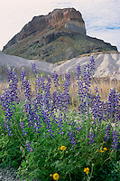 Big Bend bluebonnet and Cerro Castellan<br /> Chisos Mountains<br /> Big Bend National Park<br /> Chihuahuan Desert,  Texas