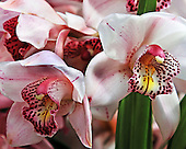 Asian Corsage Orchid<br /> Cymbidium<br /> Enzan Stream<br /> Orchidaceae<br /> Cymbidium orchids have an expansive range including the Himalayan region, China, and Australia.  Cymbidium Orchids have grass like leaves and tall spikes of waxy flowers in shades of white, green, pink and burgundy. The development and cultivation of hybrids has help save the native species in their natural environments.