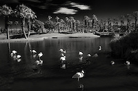 Flamingoes mostly sleeping in pond with sunrise at the Marriot Hotel. Palm Desert, California