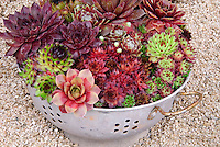 Mixed sempervivums in funny kitchen colander pot container for a humorous funny idea