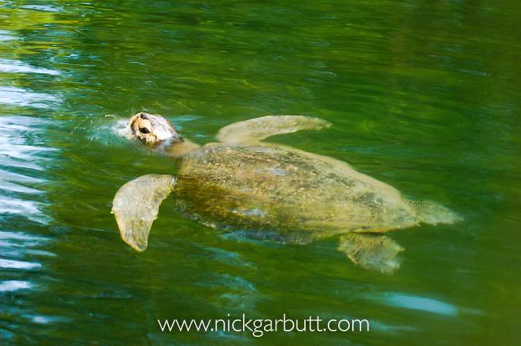 Pacific Green Turtle (Chelonia mydas) swimming at the surface. Elizabeth Bay, Isla Isabela, Galapagos Islands.